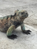 A colorful marine iguana on Isla Floreana.