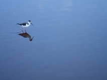Reflection of a black-necked stilt in a lagoon on Isla Isabela