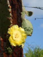 A bright yellow flower of the opuntia cactus, a favorite of land iguanas.