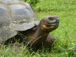 The most famous creature of the archipelago, the Galapagos tortoise.