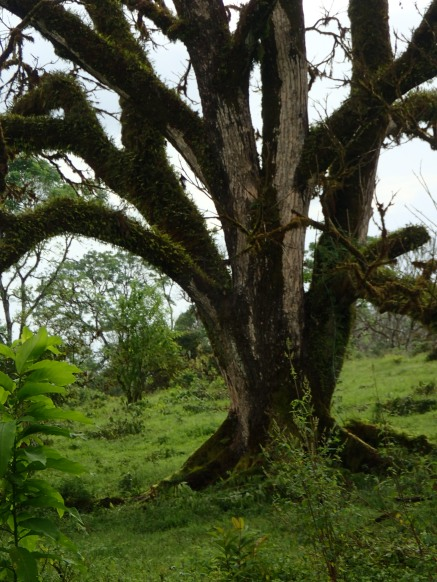The highlands of Santa Cruz are filled with beautiful trees like this one.