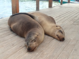 Snuggly sea lions on a dock in Puerto Villamil.