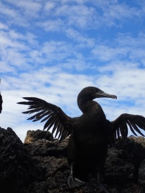 A flightless cormorant dries it wings on the western coast of Isla Isabela.