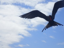A frigatebird ventures close to a fishing boat looking for a snack.