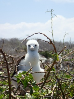 A fluffy juvenile frigate bird peeks out of its nest on Seymore Norte.