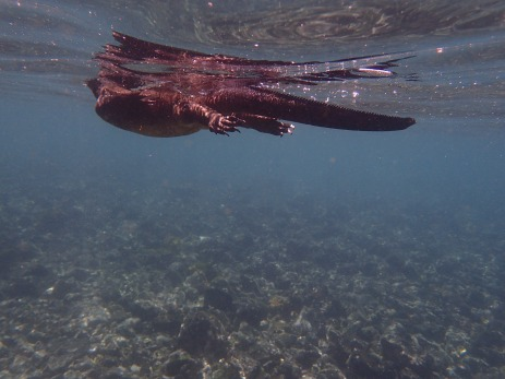 A marine iguana swimming through the water.