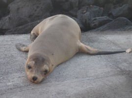 A galapagos sea lion rests on a dock on Isla Floreana.